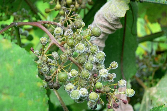 O mildeu esténdese polos viñedos e aparecen síntomas de golpes de sol