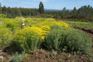 Cultivar plantas para extraer minerais do solo?