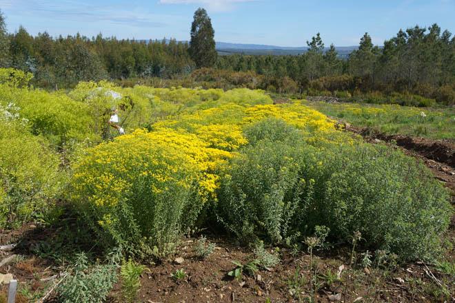 ¿Cultivar plantas para extraer minerales?