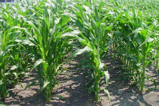 Las algas: un nuevo recurso para estimular el crecimiento del maíz