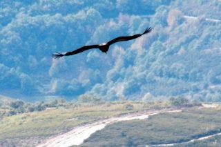 A Xunta estuda autorizar o abandono de animais mortos para voitres