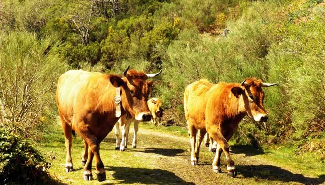 Vacas na pista forestal cara a Campa de Tres Bispos.