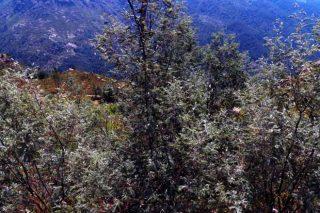Como frear a invasión de mimosas e acacias?