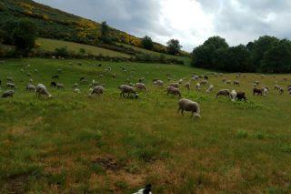 A Xunta baralla habilitar un camión – matadoiro móbil para ovino, caprino e aves