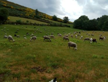 La Xunta baraja habilitar un camión – matadero móvil para ovino, caprino y aves