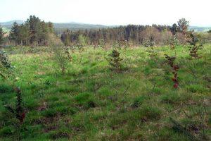 Prado plantado con eucaliptos.