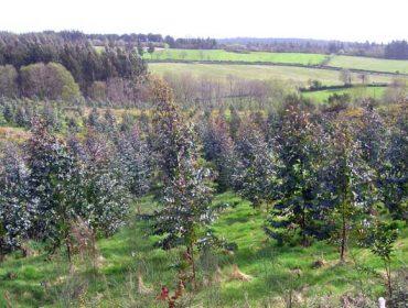 'Probas da falta de vontade política contra as plantacións ilegais de eucalipto' (I)