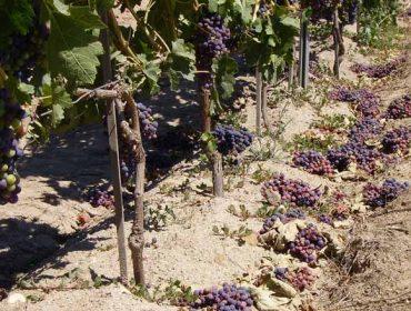 ¿Como solicitar a axuda para vendima en verde e canto recibirá o viticultor en cada DO galega?