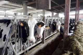 Listaxe das mellores vacas e ganderías de Galicia