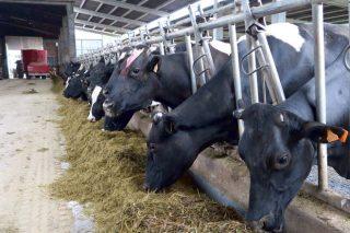 ¿Como será a granxa experimental de vacún de leite do Campus Terra de Lugo?