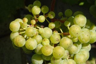Areeiro percibe un adianto no pintado da uva albariña no Condado