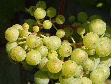 Areeiro percibe un adelanto en el pintado de la uva albariña en el Condado