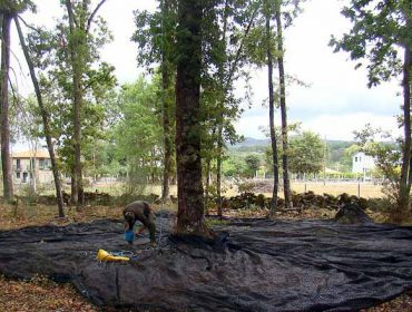 Os mellores carballos de Galicia implantaranse en Santa Comba, Chantada e Trasmiras