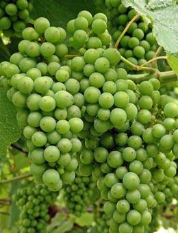 Areeiro destaca o bo estado da uva pero advirte do risco de botrite