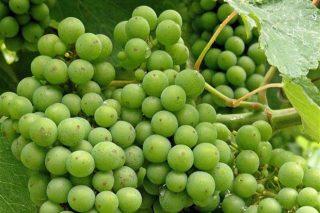 Areeiro calcula que la maduración de la uva lleva un mes de adelanto