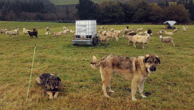 Protección das ovellas con mastíns e malla móvil. Foto: Beealia