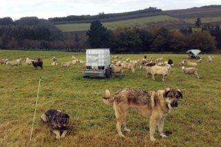 Cursos sobre manexo de pastos, prevención fronte ó lobo e xestión de ganderías de ovino e caprino