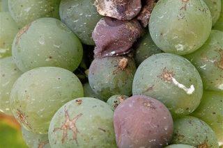 ¿Qué productos se pueden utilizar en este momento contra la botritis o podredumbre de la uva?