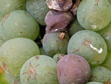 ¿Que produtos se poden utilizar neste momento contra a botrite ou podredume da uva?