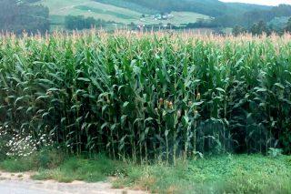 Boas perspectivas para a colleita de millo forraxeiro, cun 20% máis de rendemento