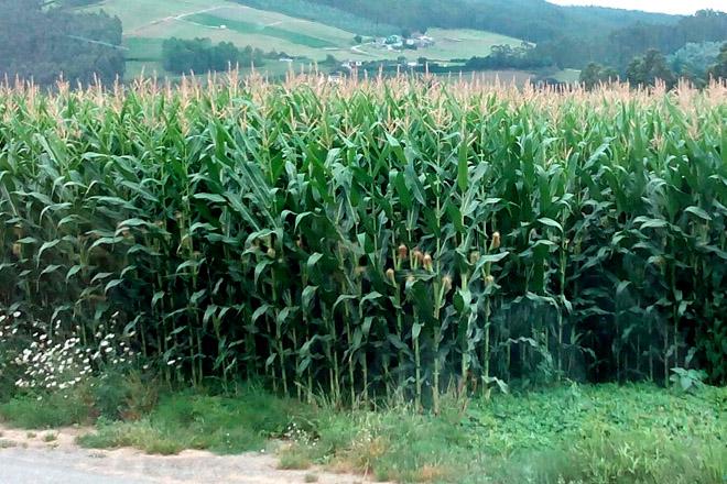 Buenas perspectivas para la cosecha de ma z forrajero con for En cuanto tiempo se cosecha la tilapia