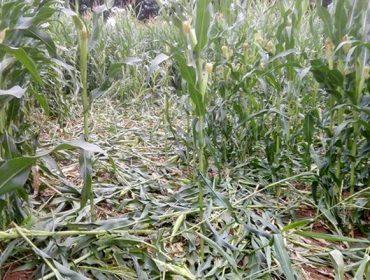Unións advierte de la expansión de los daños del jabalí sobre el maíz