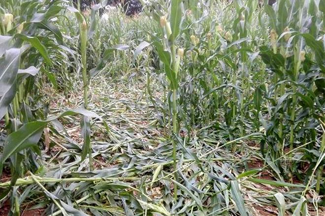 Unións advirte da expansión dos danos do xabarín sobre o millo