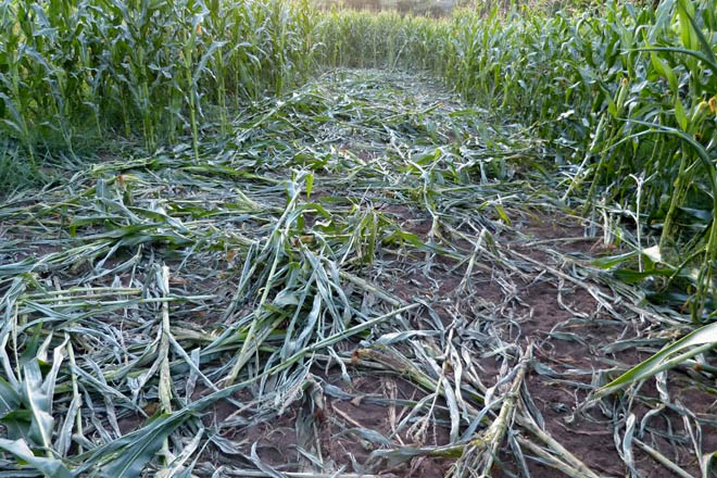 A maior parte dos danos prodúcense coincidindo coa campaña do millo, cando o xabarín está en veda