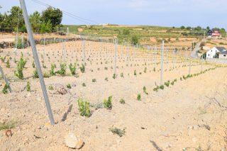 Aberto o prazo para solicitar autorizacións de plantación de viñedo
