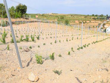 Cambios nas axudas da Xunta para a reconversión de viñedo