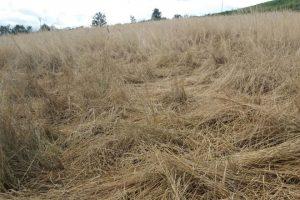 Finca de herba seca aplastada polos xabaríns.