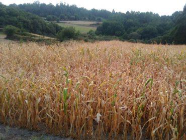 Estratexias para enfrontar as secas no millo