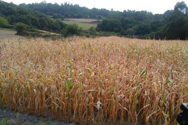 Cobideza inicia el ensilado del maíz en Galicia
