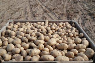Menor cosecha de patata en A Limia de lo esperado