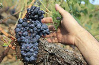 Recomendacións da Evega sobre os tratamentos na viña tras a saraiba