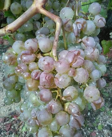 La Fruga le exige a la Xunta ayudas para los viticultores del Ribeiro afectados por el granizo