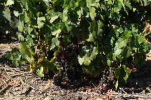 Os viñedos tamén sofren nesta tempada os ataques dos xabaríns. Foto: El Progreso