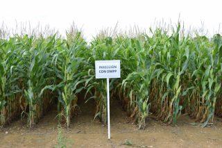 Ensaios en Galicia coas variedades de millo forraxeiro: resultados 2020