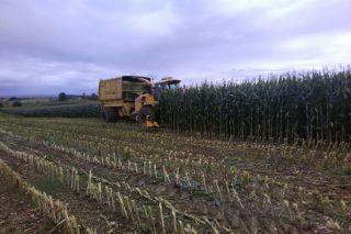 Manexo do millo para silo: colleita, procesado do gran e xestión da dixestibilidade