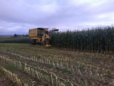 Manejo del maíz para silo: cosecha, procesado del grano y gestión de la digestibilidad