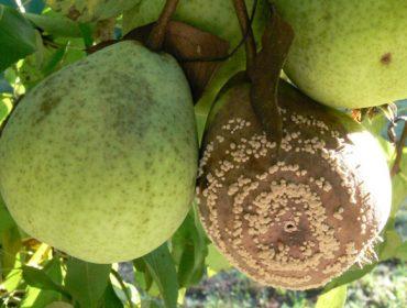Recomendan retirar das árbores a froita podre para evitar a propagación da Monilia