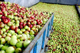 La sidra Maeloc prevé un gran incremento de su cosecha de manzana