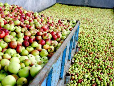 A sidra Maeloc prevé un gran incremento da súa colleita de mazá
