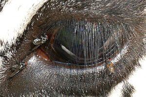 A mosca da cara (Musca autumnalis) produce queratoconxuntivite