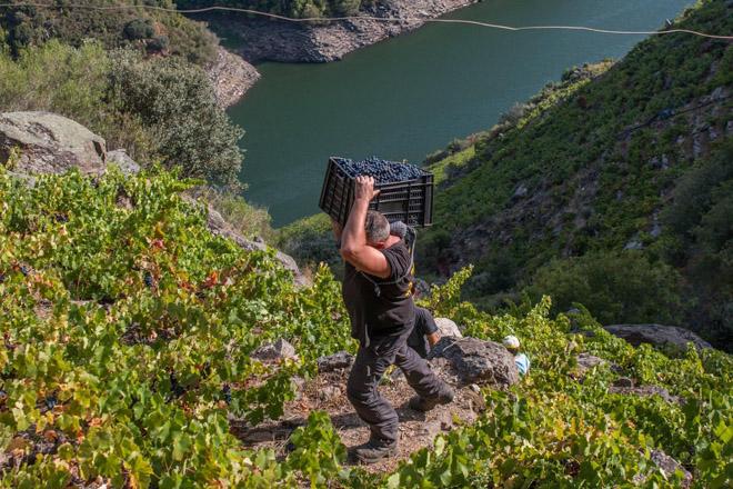 Ribeira Sacra finaliza la vendimia con una cosecha mejor de lo esperado