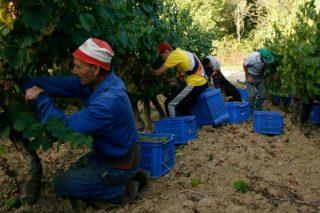 Cepado, unha tradición de coidado dos viñedos plasmada no viño