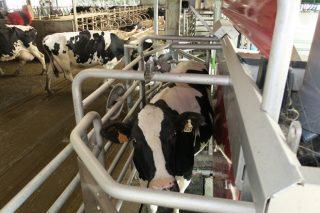 Como incide o robot de muxido na produción de leite e na fertilidade