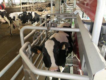 Factores que lle provocan medo a unha vaca