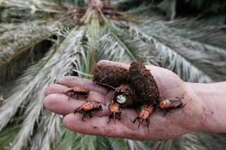 Jornada técnica sobre el Picudo Rojo de las palmeras
