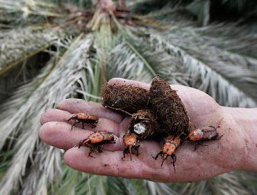 Como facer fronte ao picudo vermello, a praga que está a arrasar palmeiras en toda Galicia